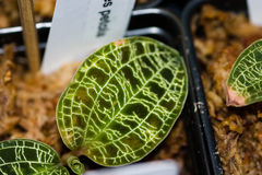 Hojas iridiscentes con las venas brillantes de la plata del oro Foto de archivo