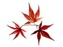 Hojas japonesas del árbol de arce rojo   Imagenes de archivo
