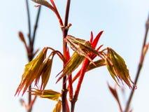 Hojas jovenes de Acer Palmatum en primavera imagenes de archivo