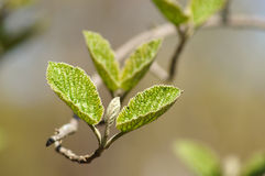 Hojas jovenes de la primavera del aliso. Imagen de archivo libre de regalías
