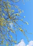 Hojas jovenes del árbol de abedul Foto de archivo