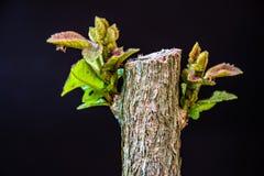 Hojas jovenes del arbusto de mariposa imágenes de archivo libres de regalías