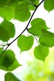 Hojas jovenes del verde Imagenes de archivo