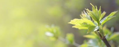 Hojas jovenes del verde Brotes de la primavera Fondo imágenes de archivo libres de regalías