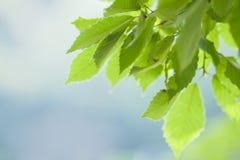 Hojas jovenes del verde en luz del sol del comienzo del verano imágenes de archivo libres de regalías