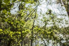 Hojas jovenes en las ramas - parques de Londres en un día soleado fotos de archivo