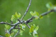 Hojas jovenes en una rama del Apple-árbol Fotos de archivo libres de regalías