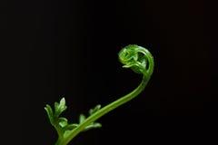 Hojas jovenes frescas verdes del helecho Imagenes de archivo