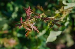 hojas jovenes Rojo-verdes de un árbol en el sol Primer Foco suave imagen de archivo libre de regalías