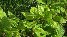 Hojas jovenes verdes de la vid china de la magnolia en luz del sol almacen de metraje de vídeo