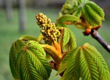 Hojas jovenes verdes del brote de la castaña y de flor Imagen de archivo libre de regalías
