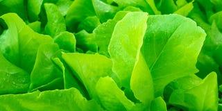 Hojas jugosas de la ensalada verde Imágenes de archivo libres de regalías