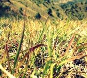Hojas largas de la hierba Foto de archivo