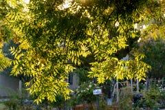 Hojas ligeras traseras del árbol en vecindad Imagen de archivo