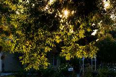 Hojas ligeras traseras del árbol en vecindad Fotografía de archivo libre de regalías