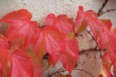 Hojas lvy rojas durante otoño Foto de archivo libre de regalías
