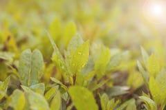 Hojas magníficas en Bush verde claro con las gotitas de la caída de la lluvia en la hoja Imagen de archivo