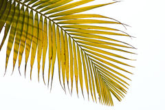 Hojas marchitadas de la palmera Fotos de archivo