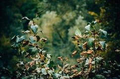 Hojas marchitadas en el arbusto Fotos de archivo libres de regalías