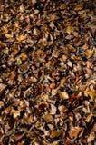 Hojas marrones y anaranjadas del otoño de la haya Fotografía de archivo libre de regalías