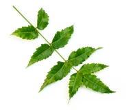 Hojas medicinales del neem Imagenes de archivo