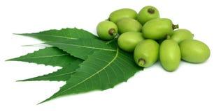 Hojas medicinales del neem con la fruta foto de archivo libre de regalías