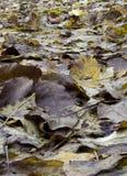 Hojas mojadas de la nuez Imagen de archivo libre de regalías