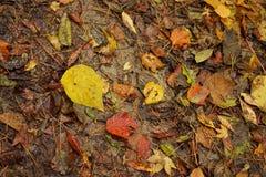 Hojas mojadas del color del otoño en la tierra Fotos de archivo