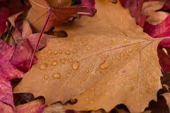 Hojas mojadas del otoño con agua visible de los descensos Fotografía de archivo libre de regalías