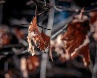 Hojas muertas en un árbol Fotos de archivo libres de regalías