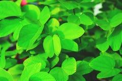 Hojas naturales del verde Foto de archivo libre de regalías