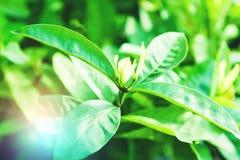 Hojas naturales del verde Fotos de archivo libres de regalías