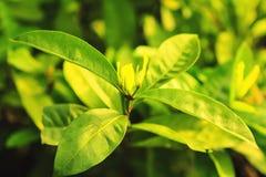 Hojas naturales del verde Imagen de archivo libre de regalías