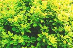Hojas naturales del verde Fotografía de archivo libre de regalías