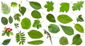 Hojas naturales del verde aisladas en blanco Imagen de archivo libre de regalías