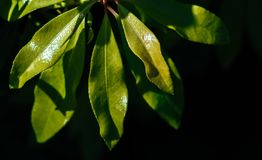 Hojas naturales del verde en una planta Imagenes de archivo