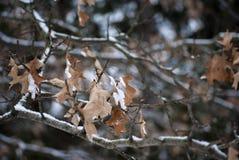 Hojas nevadas muertas en invierno fotografía de archivo libre de regalías
