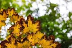 Hojas otoñales de un árbol de arce Fotografía de archivo libre de regalías