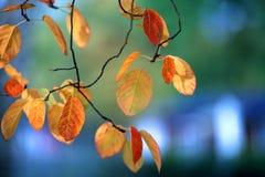 Hojas otoñales del abedul en árbol Fotos de archivo
