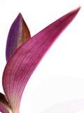 Hojas púrpuras Imágenes de archivo libres de regalías