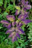 Hojas púrpuras Foto de archivo