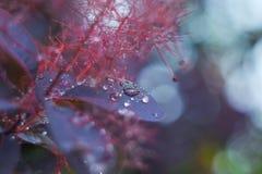 Hojas púrpuras de Bush después de la lluvia Jardín botánico fotografía de archivo