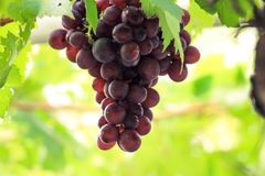 Hojas púrpuras de la uva en jardines al aire libre verdes Fotos de archivo