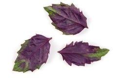 Hojas púrpuras frescas de la albahaca aisladas en el fondo blanco imágenes de archivo libres de regalías