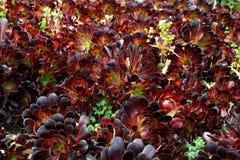 Hojas púrpuras oscuras del árbol suculento de Houseleek Imagen de archivo libre de regalías
