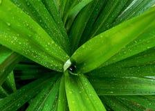 Hojas pandan mojadas de la planta Imagen de archivo