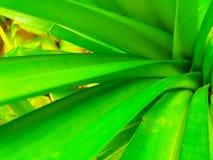 hojas pandan naturales Imágenes de archivo libres de regalías