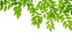 Hojas panorámicas del verde en el fondo blanco Fotografía de archivo