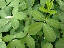 Hojas pinado-compuestas de la planta amarilla del cacahuete Fotografía de archivo