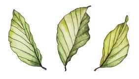 Hojas pintadas a mano del verde de la acuarela